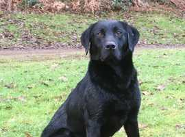 Black proven pedigree Labrador at stud
