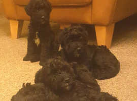 Kc Reg, Kerry Blue Terrier Puppies