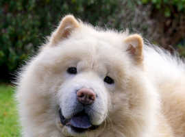Loving cream chow-chow boy for sale