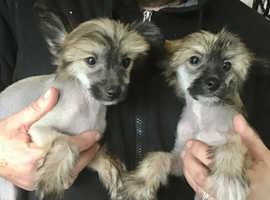 Chinese Crested pups kc ready now