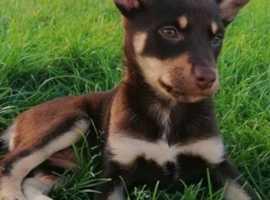 9 week kelpie pup