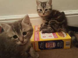 2 beautiful Bengal cross tabby kittens for sale
