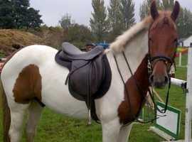 Irish Sports Horse X