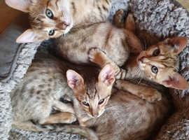 Savannah Kittens County Down ready to go