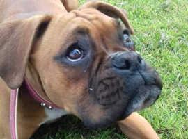puppy boxer girl