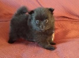 Proven Pomeranian M/F Puppies