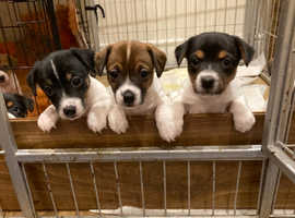 A fantastic litter of jack Russell's full of characters