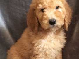 Golden/red labradoodle puppies