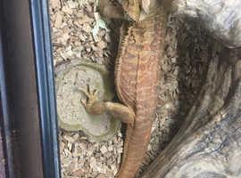 1 male adult bearded dragon & setup