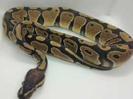 Male 100% Het Albino Royal Python CB18