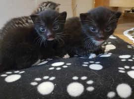 6 week old kittens, litter trained