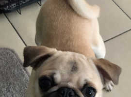 7month old beautiful pug need to go ASAP