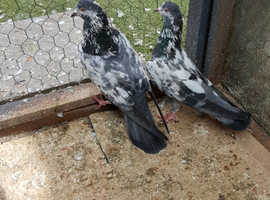 Pigeons For Sale & Rehome in Southampton | Find Birds For