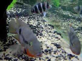 Cichlids for sale, oscars, frontosa firemouths convicts
