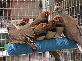Assorted range of  finches available