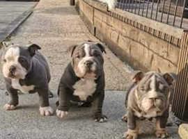 English bulldog x sharpie