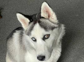 Siberian Husky (female)