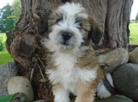 Bishon Frise x Border Collie - Ready August 28th fully vaccinated.