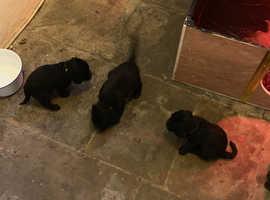 Pedigree Bedlington Terrier Puppies for sale