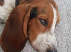 Bassett hound male 1 year