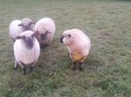 Pedigree Dorset Down In Lamb Shearling ewes