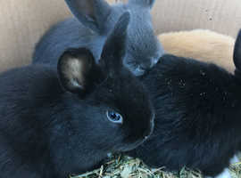 4 baby mini lop X rabbits left