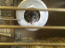 Two male light ebony chinchillas