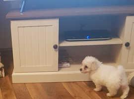Bichon frise puppy ready now