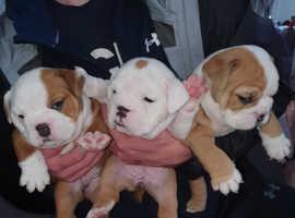 5 week old british Bulldogs
