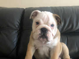 KC BULLDOG PUPPY GIRL