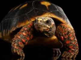 Tortoise wanted wanted