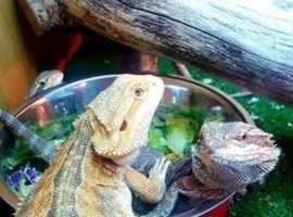 Bearded Dragon Juveniles & Babies. Trans Leatherbacks & Het Hypos. £40 each/£60 for 2/£80 for 3 ect.