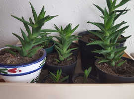 Well Established Aloe Vera Plants For Sale