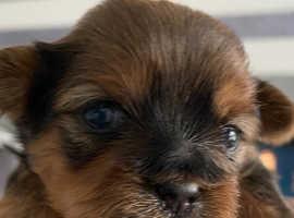 Beautiful Shorkie puppies