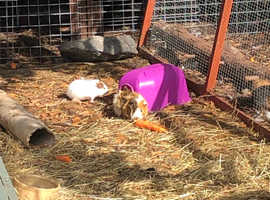 Baby guinea pigs smooth, longhair  & Rosetta