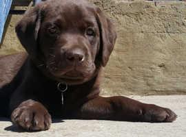 Beautiful chocolate Labrador puppy