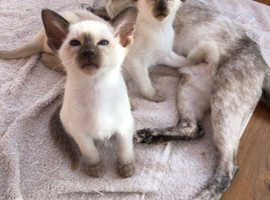 Outstanding Playful Quality Blue Eyed Siamese Kittens.