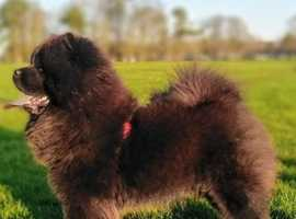 Black kc chow chow stud (not for sale)