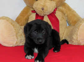 Top Quality F1 Labradoodle 2 Available