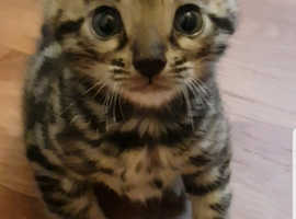 Stunning Bengal Kittens Tica Registered