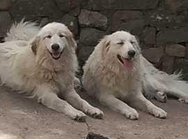 Pyrenean Mountain Dog Mix  (Bugeilgi Mawr Cymreig bx Pyr ) for Sale