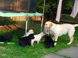 Yellow and black dark, Labrador puppies