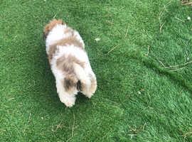 Bichon frise x shih tzu puppies available now