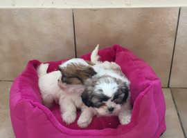 Shihchon puppies