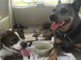 Beautiful 6 y/o Australian Cattle Dog for rehome- potentially with his Beagle Boston Terrior brother