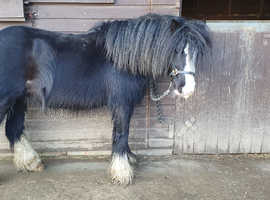13h little 5 year old cob.
