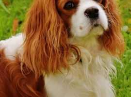 Wanted to have one Weston area king charles