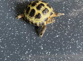 Horsefield Tortoise and complete set-up