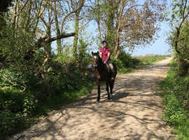 15.3hh gelding for sale