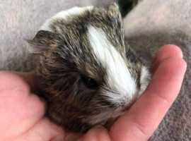 Beautiful baby guineapig ready for reserve.